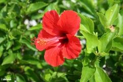 okinawa-hibiscus